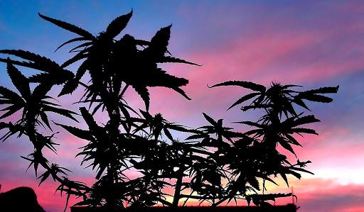 Cannabis_sky