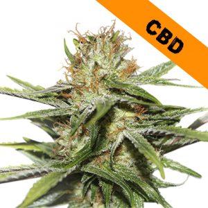 CBD Critical XXL CBD seed in South Africa