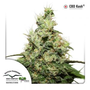 CBD Kush plant grown from a CBD seed in South Africa