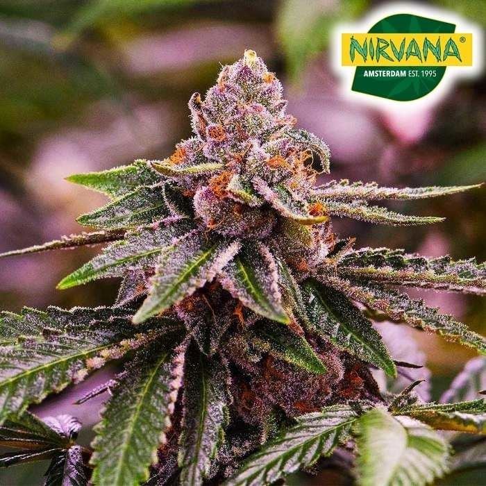 Girl Scout Cookies Strain that is derived from Durban Poison