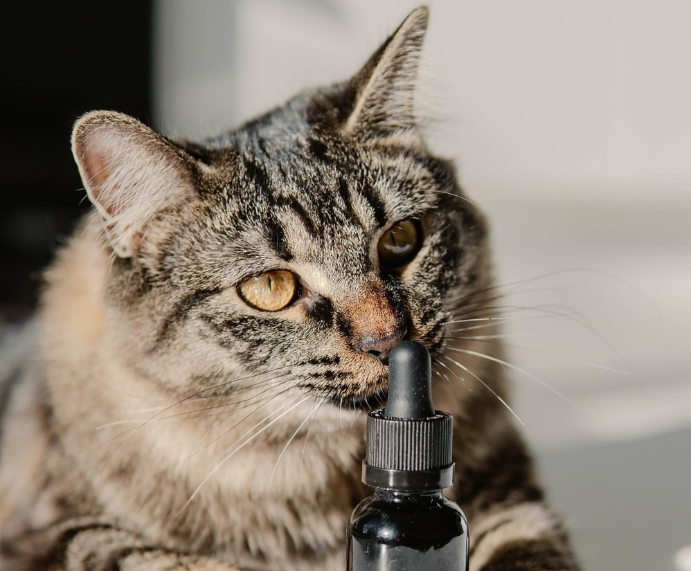 Tabby cat with a bottle of CBD oil