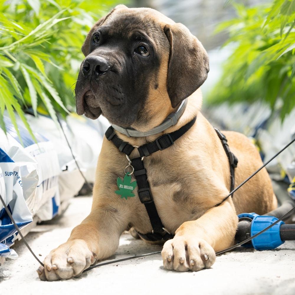 A puppy sits among hemp plants with a cannabis leaf shaped dog tag