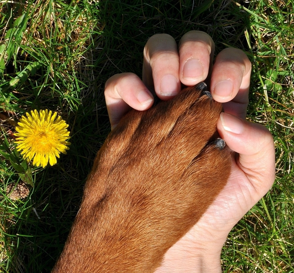Human hand holding a dog's paw in a field with a daisy