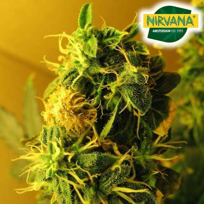 Nirvana_Seeds