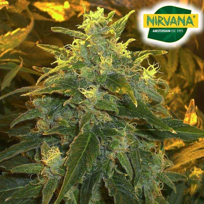 Northernlights_Weed