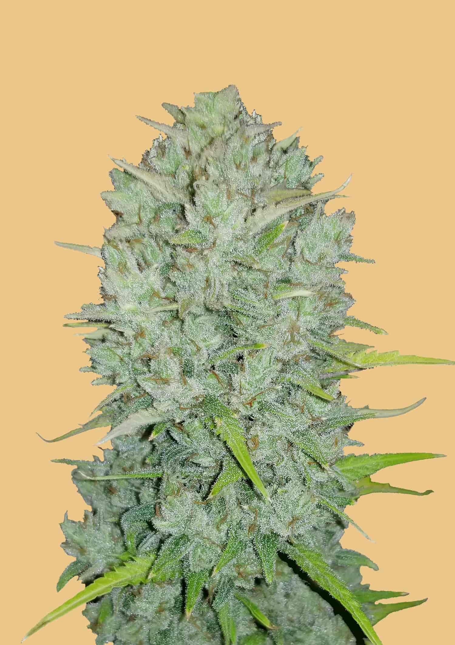 Autoflower_Seed